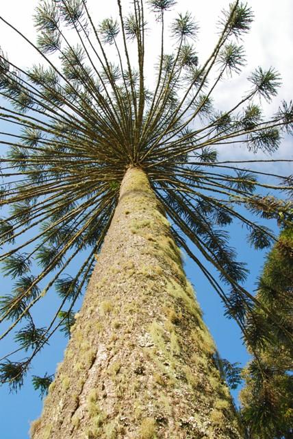 Bountiful Bunya Pine....