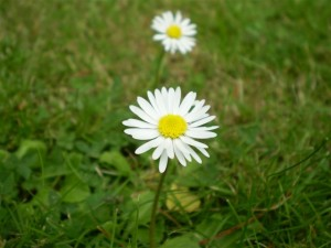 A perfect English Daisy.